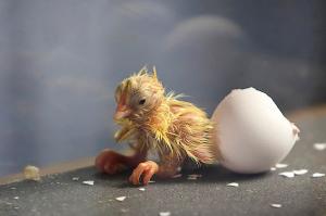incubator-chick