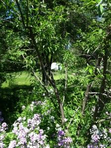 Backyard 5-22-15