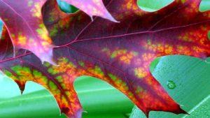 oak-autumn-leaf